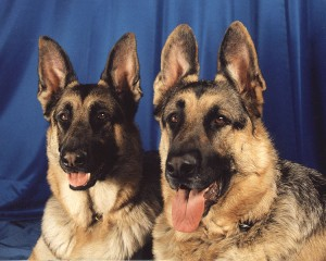 750px-German_Shepherd_Dogs_portrait